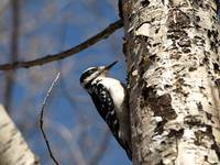 woodpecker on tree 7