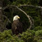 """Bald Eagle, looking right"" by MargaretHarding"