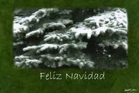 Snow-Covered Evergreen Branches - Feliz Navidad