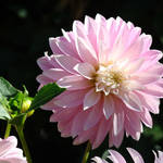 """DAHLIAS FLOWERS Art Prints White Pink Dahlia"" by BasleeTroutman"