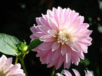 DAHLIAS FLOWERS Art Prints White Pink Dahlia
