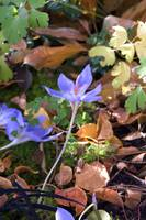 Campanula 1, Fall 2008, Colorado