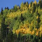 """Telluride Aspen Grove, Late Summer"" by shanaway"