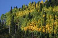 Telluride Aspen Grove, Late Summer