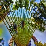 """Ravenala Madagascariensis"" by johncorney"