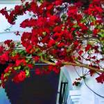 """Red Bougainvillea"" by johncorney"