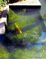 Koi At the Lightner Museum