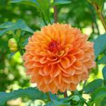 """DAHLIA FLOWER Art Prints Giclee Orange Dahlias"" by BasleeTroutman"
