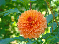 DAHLIA FLOWER Art Prints Giclee Orange Dahlias