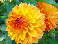 Dahlias Orange Dahlia Flowers Art Prints Giclee