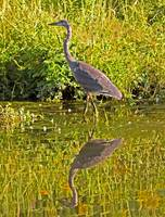 Painted Blue Heron
