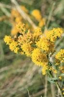Stout Goldenrod