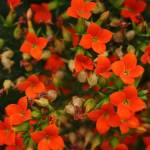 """Red Impatiens"" by AlyceTaylor"