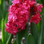 """Double Hyacinth"