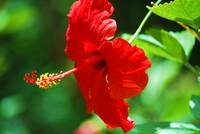 Red Hot Hibiscus