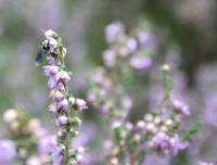 Insect on heather