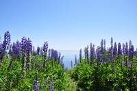 Lake Superior Lupine