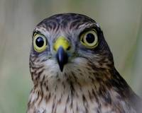 Sparrowhawk eye to eye