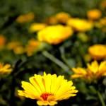 """""""Daisy"""" by DanieleLembo"""