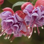 """Fuchsias"" by IDDInteractive"