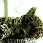 """""""Leopard"""" by DanieleLembo"""