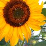 """Inspirational Sunflower Photo"" by kalabart"