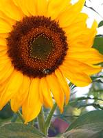 Inspirational Sunflower Photo