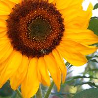 Inspirational Sunflower Photo Art Prints & Posters by Karin Kalabra