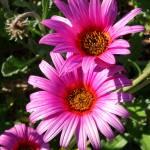 """""""Pink Gerberas"""" by emw314"""