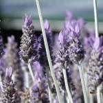 """""""Lavender"""" by emw314"""