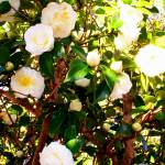 """White Camellias"" by emw314"