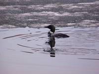 Loon on Ice