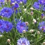 """""""Cornflowers on Campabello"""" by etobin61"""
