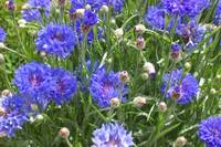 Cornflowers on Campabello