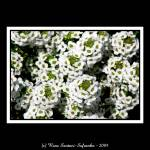"""Alyssum-174"" by Artists4God"