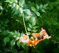Butterfly on A Creeping Trumpet