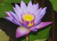 Water lily with golden center