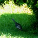 """""""Turkey in the Shade"""" by Kimmary"""