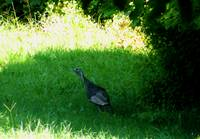 Turkey in the Shade