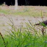 """Wild Turkey Crossing"" by Kimmary"