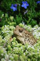 Toad basking in the sun