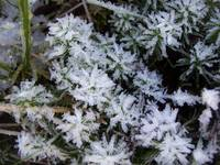 Frosted Polytrichum Moss