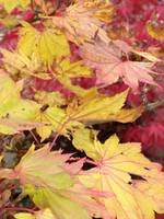 red and gold leaves