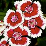 """dianthus flowers"" by annmcnabb"