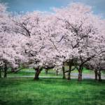 """Cherry Blossom Trees"" by LunarImage"