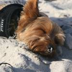 """Yorkie sleeping on beach"" by LizzieHarr"