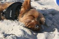 Yorkie sleeping on beach