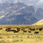 """""""Buffalo Grass"""" by FocalPoint1"""
