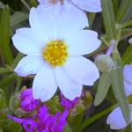"""""""White flower with Ice Plant"""" by Kirby"""
