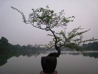 Bonsai, evening, lake, Hanoi